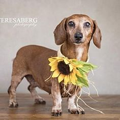 Our Purpose is: To rescue adoptable dogs and puppies from animal shelters and animal control facilities To rescue dogs and puppies from abusive and neglectful situations, including puppy mills Dachshund Adoption, Dachshund Love, Pet Adoption, Animal Shelter, Animal Rescue, Dramatic Play Centers, Healthy Pets, Puppy Mills, Animal Control