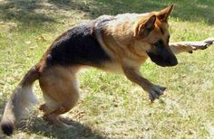 German Shepherd Military Dogs | images of newbie 1331 german shepherds in the holy land game over ...