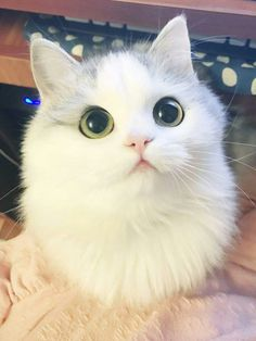Tagged with cute, aww, dump, kitties, puppers; Puppers and kitties Pretty Cats, Beautiful Cats, Animals Beautiful, Majestic Animals, Gorgeous Eyes, Cute Baby Animals, Animals And Pets, Funny Animals, Big Eyed Animals