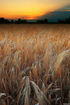 Country Life ~ Fields of Grain Beautiful Sunset, Beautiful World, Beautiful Places, All Nature, Amazing Nature, Landscape Photography, Nature Photography, Cool Pictures, Beautiful Pictures