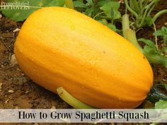 Spaghetti squash is quite original and easy to grow. From seed to harvest without omitting care, here are the tips on how to grow spaghetti squash. Growing Spaghetti Squash, Cooking Yellow Squash, Yellow Squash Casserole, Green Spaghetti, Cucumber Beetles, Growing Seeds, Growing Vegetables, Gardening Tips, Vegetable Gardening