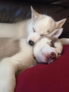 Such cute little husky puppies!