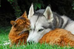 <3 Somali cat and Siberian Husky cuddle up together, photographed by Katho Menden