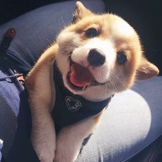 This is a list of some of the cutest Corgi photos. You can add your own special Corgi photos to the list, and you can vote for your favorite pictures of Corgis. Cute Corgi Puppy, Corgi Dog, Cute Dogs And Puppies, I Love Dogs, Dog Cat, Funny Puppies, Baby Corgi, Pomsky Puppies, Corgi Funny