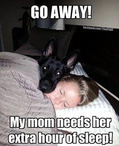 protecting mama #gsd #pets #dog #shepherd