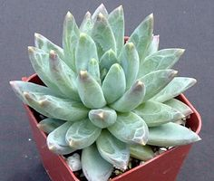 Pachyveria glauca 'Little Jewel'