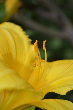 daylillies