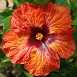 Tropical Hibiscus 'Venetian Pepper'