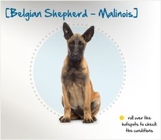 The Malinois is one of four varieties of sheepdogs that originated in Belgium. The Malinois differs from the other varieties in that he has a short coat and comes from the city of Malines.
