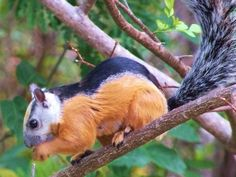The Costa Rica squirrels are so colorful. I usually see them in a tree. Squirrel Girl, Flying Squirrel, Cute Squirrel, Squirrels, Beautiful Creatures, Animals Beautiful, Costa Rica, Baby Animals, Cute Animals