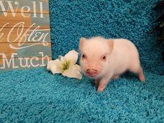 Mini & Micro Juliana Baby Pigs For Sale - Mini Pocket Pigs Micro Pigs For Sale, Baby Pigs For Sale, Teacup Pigs For Sale, Cute Baby Pigs, Cute Piglets, Cute Funny Animals, Cute Baby Animals, Micro Piglets, Pocket Pig