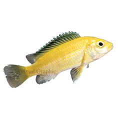 Kennyi african cichlid live fish petsmart fish tank for Petsmart fish guarantee