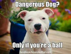 #Pitbulls Dangerous? NOT!