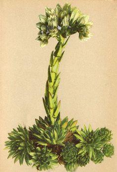 sempervivum alpenflora - Google Search