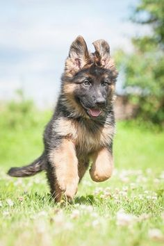 Wicked Training Your German Shepherd Dog Ideas. Mind Blowing Training Your German Shepherd Dog Ideas. Puppy Obedience Training, Basic Dog Training, Training Dogs, German Shepherd Pictures, German Shepherd Puppies, German Shepherds, Positive Dog Training, Dog Training Techniques, Schaefer