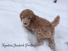 Mercedes, a standard poodle puppy at 6 weeks old playing in the snow.