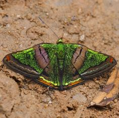 The genus Caria, which is where this Green Mantle Butterfly (Caria mantinea)