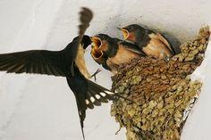 Hirondelles de printemps - Hungry Swallows.