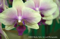 Phalaenopsis Schilleriana Orchids Fine Art Photo by BeckyTylerArt, $20.00