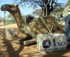 Biblioteca en camello, llevando cultura a todo lugar. Camel-library, bringing culture everywhere.
