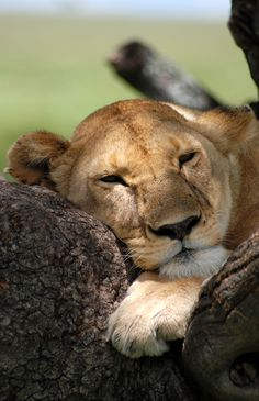 Africa | Lioness resting up in a tree.  Serengeti National Park.  Tanzania. | ©Dave Beere.