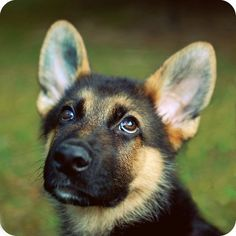 "german shepards are ""DA"" best if you get the pun, comment"
