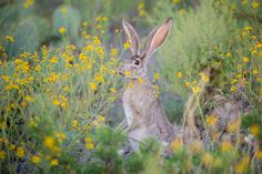 https://flic.kr/p/yKHLpE | Jack | Starting last winter and continuing through much of the spring and summer, West Texas has enjoyed much more rain than in recent years resulting in a landscape so lush it is hard to believe it is desert.  This jackrabbit is reveling in the bounty near Vista del Bofecillos campsite at Big Bend Ranch State Park.