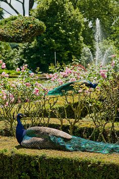 Peacocks in Garden, Warwick Castle, England Peacock Images, Peacock Pictures, Beautiful Birds, Beautiful Gardens, Peacock And Peahen, Peacock Feathers, Warwick Castle, Beautiful Creatures, Places To Go