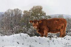 https://flic.kr/p/ZFDmJB | Big calf in the snow /Nagy boci a hóban | calf snow animal winter  borjú hó állat tél   Kalb Schnee Tier Winter