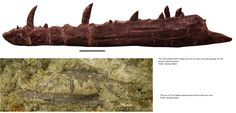 tawa hallae fossils Fossils, Paleo, Fossil, Beach Wrap, Paleo Food