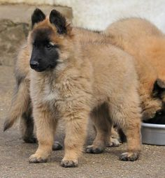 Puppy #Tervueren #sheepdog
