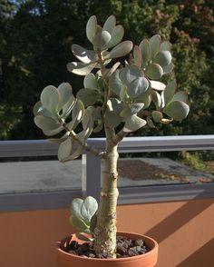 Толстянка или денежное дерево (Crassulaceae)-7 - Цветочный форум