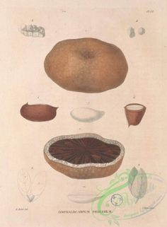 omphalocarpum procerum - high resolution image from old book. Nice Flower, Amazing Flowers, Flower Paper, Plant Painting, Flowers Decoration, Botany, Art Pictures, Stuffed Mushrooms, Clip Art