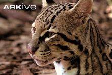 Ocelot - overview - View incredible Ocelot videos - Leopardus pardalis - on Arkive Cats 101, Ocelot, Panther, The Incredibles, Videos, Animals, Leopard Cat, Animales, Animaux