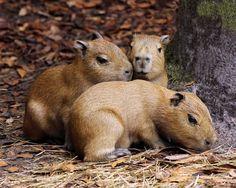 three Capybara babies