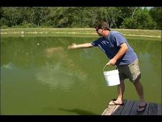 Methods and reasons for supplementally feeding bluegill are discussed in this video. This video is part of a series aimed at managing ponds for sport fish. Crappie Fishing Tips, Bass Fishing, Fish Breeding, Fish Feed, Bait, Pond, Youtube, Water Pond, Fishing