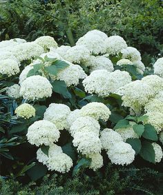 Another great find on #zulily! Live 'Snow Storm' Hydrangea - Set of Two by Seedling & Sprout  #zulilyfinds