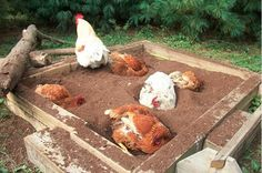 Use a sandbox as a bathtub for your chickens! Place the sandbox near your chicken coop and fill the sandbox with dirt or sawdust. Stir and top off the chicken dust bath regularly. Chicken Coup, Chicken Lady, Chicken Runs, Chicken Facts, Chickens And Roosters, Pet Chickens, Urban Chickens, Dust Bath For Chickens, Keeping Chickens