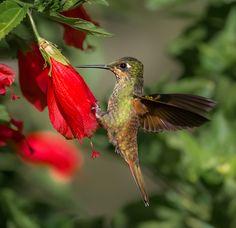Foto beija-flor-rubi (Clytolaema rubricauda) por Gabriel Mello   Wiki Aves - A Enciclopédia das Aves do Brasil