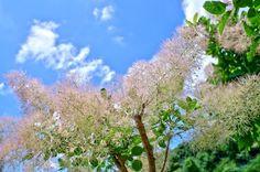 6月の森のスモークツリー(佐野市)