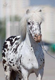 Miniature leopard Appaloosa horse.