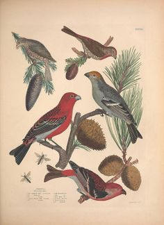 Illustrations of the American ornithology of Alexander Wilson and Charles Lucian Bonaparte, Edinburgh, Frazer & Co. 1835.