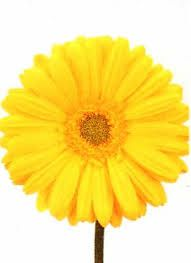 Image result for yellow daisy images