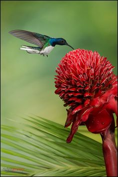 White Necked Jacobin feeding off a red flower.  This bird ranges from Mexico south to Peru, Bolivia and south Brazil.