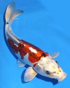 Live koi fish 9 10 orange white kikusui koibay koi fish for Carolina koi farm