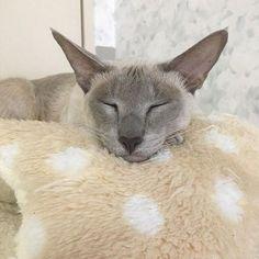 「猫 オリエンタルショートヘア」の画像検索結果