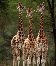 Safari Jeep Barely Escapes a Giraffe's Charging Attack - PawNation