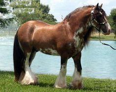 Beautiful draft horse .