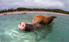 Living on the tiny uninhabited island of Big Major Cay in the Bahamas, these wild pigs swim in the tropical waters, happy to show off their piggy-paddlin' skills to amazed tourists who regularly visit. The pigs swim out to yachts and boats in the hope of finding a free lunch and are surprisingly adept in [...]