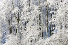 Snow Covered Trees in Gloucestershire - Wall Mural & Photo Wallpaper - Photowall